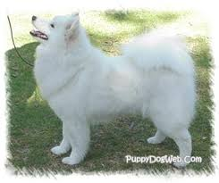 Samoyed Puppies Breeders Samoyeds