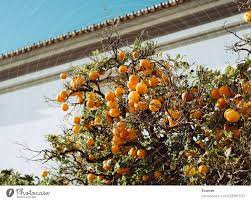 orange tree in portugal a royalty