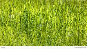 tall green grass field. Tall Green Grass Background Stock Video Footage Field