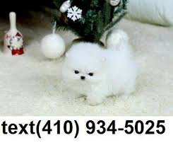 teacup pomeranian puppies for sale. Interesting For Click To Zoom Image 1 Of 1 Throughout Teacup Pomeranian Puppies For Sale