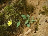 Hieracium pictum