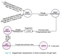 essay on human heart location structure and other details  blood circulation through heart