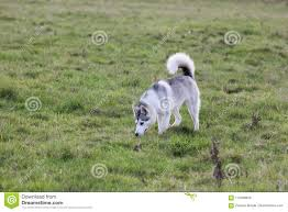 beautiful grey and white short haired pure breeded husky dog doggie doggy pup puppy pet smell something and follow it in a green gr field