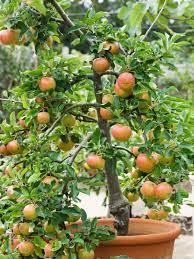 planting apple trees dwarf fruit trees
