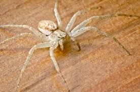 Light Brown Spider With White Spot On Back 21 Common Uk Spiders You Might Find This Autumn Metro News
