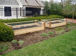two raised garden beds with rabbit