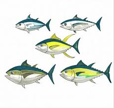 Tuna Fish Size Chart If You Eat Tuna You Should Know These Five Fish