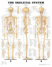 Anatomical Chart Co The Skeletal System Anatomical Chart