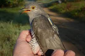 this cuckoo bird s crazy journey could help scientists save its  this cuckoo bird s crazy journey could help scientists save its species