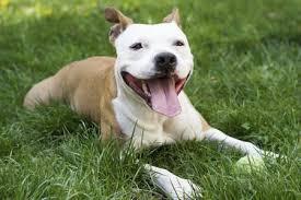 american bulldog pitbull boxer mix. Exellent American Pitbull Boxer Mix Intended American Bulldog A