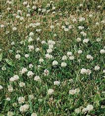 Image result for lawn clover