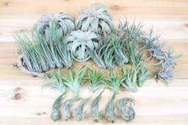 Wholesale: Best Seller Pack - 33 Plants Medium & Large Air Plants