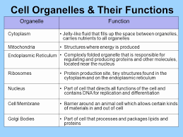 Cell Organelle Chart Genuine Cell Organelles Chart With Functions And Structure
