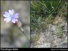 Petrorhagia dubia (Raf.) G.Lopez & Romo: FloraBase: Flora of ...