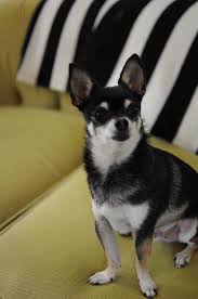 black and white terrier mix. Plain Terrier Black U0026 White Boston Terrier Chihuahua Mix For And R