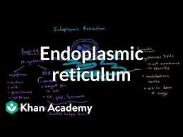 Endoplasmic Reticulum Endoplasmic Reticulum And Golgi Apparatus Video Khan Academy