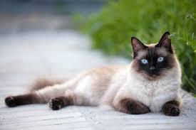 Siam - Cat's Best