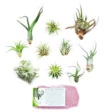 SALE - Air Plant Grab Bag of 10 Plants + 1 Year Air Plant Fertilizer Pack