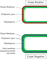 Gram Positive Vs Gram Negative Bacteria Difference And