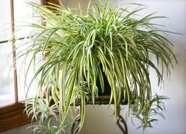 best office plant no sunlight. best office plant no sunlight lovely plants 5 indoor care