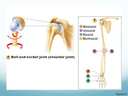 ball and socket joint. classification of synovial joints ppt video online download 7 ball and socket russellfoxfo image collections joint e