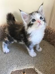 Maine Aww Kitten Maine Aww Coon Kitten Coon Coon Kitten Maine Aww