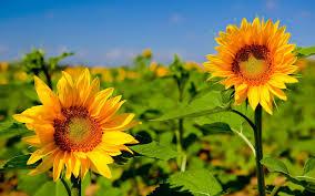 Sunflower Desktop Wallpaper - 1920x1200 ...