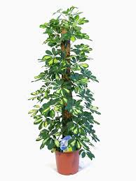 schefflera gold capella umbrella plant