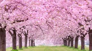 Bunga Sakura Ingin Lihat Bunga Sakura Catat Waktu Yang Tepat Jika Ingin