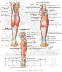 Posterior Compartment Leg Muscles Chart