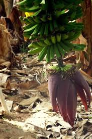 Fotografie gratuită: Flori de banane, banana Floare