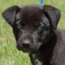 husky black lab mix puppy. Simple Mix Labrador Husky Mix And Husky Black Lab Mix Puppy Animalso