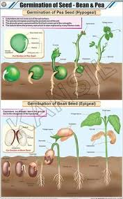 Germination Of Seed Bean Pea For Botany Chart