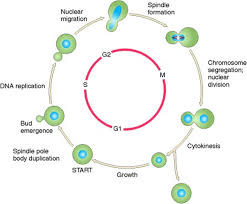 saccharomyces cerevisiae life cycle saccharomyces cerevisiae cell cycle