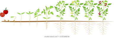 Tomato Seed Growth Chart Tomatoes Growing Photos 90 509 Tomatoes Stock Image