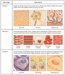 types of tissues anatomy and physiology this is a two column table containing both text and illustrations the left column