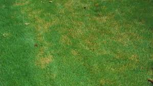Dollar Spot Nc State Extension