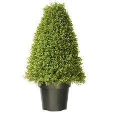 Boxwood Tree with Dark Green Growers Pot with 50