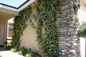Pictures And Descriptions Of Native VinesWall Climbing Plants Southern California