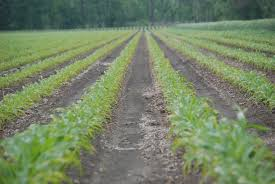 Are Early, Vegetative Fungicide Applications Beneficial for ... & The decision to apply a fungicide at vegetative timings is a difficult one.  Typically, Adamdwight.com