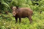 Images & Illustrations of wild boar