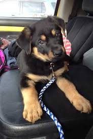 german shepherd rottweiler mix puppies.  Rottweiler Rottweiler German Shepherd Mix Health Problems Throughout Puppies P
