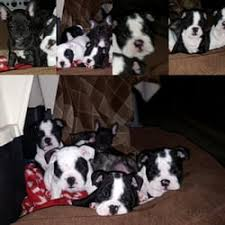 photo of left coast bulldogs vacaville ca united states french bulldog puppies