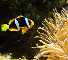 black and yellow clown fish.  Black For Black And Yellow Clown Fish