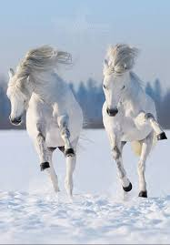 white horses in snow. Fine Horses White Horses Everything Comes In Pairs Marco And Ceila Widget Poppetu2026 Intended Horses In Snow Pinterest