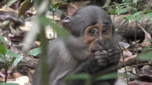 Laser Light To Scare Monkeys Monkeys Benefit From The Nut Cracking Abilities Of
