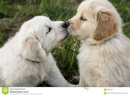 cute golden retriever puppies kissing. Perfect Golden Golden Retriever Puppies Kissing Throughout Cute Puppies Kissing V