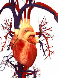 Free download Human Heart Images ...