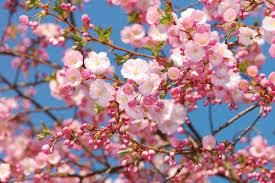 Bunga Sakura Di Balik Keindahannya Ternyata Bunga Sakura Memiliki Fakta
