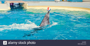 pool water with beach ball. Dolphin Performing In The Pool Water With Colored Beach Ball